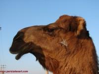شتر میزبان کویر مرنجاب
