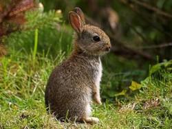 خرگوش Lepus capensis