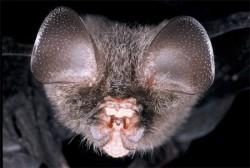 خفاش بينى برگه اى ايرانى Triaenops persicus
