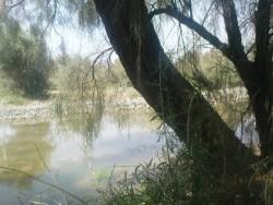 درخت گز در بیابان