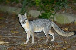 روباه خاكستری
