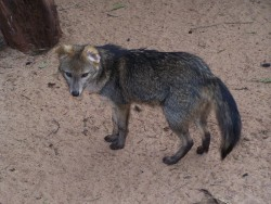 روباه خرچنگ خوار