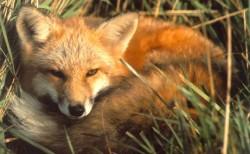 روباه معمولی (روباه قرمز )