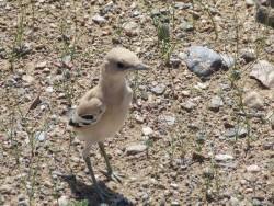 زاغ بور معروف به پرنده میلیون دلاری