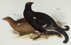 سیاه خروس قفقازی