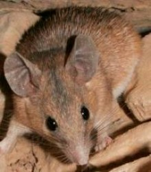 موش خاردار Spiny mouse