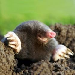 موش کور Spalax ehrenbergi