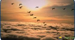 چرا پرنده ها به شکل( V ) پرواز می کنند؟