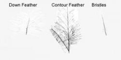 ساختار پر در پرندگان
