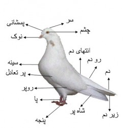 تحقیق درباره کبوتر