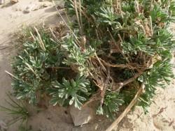 گیاه درمنه در بیابان