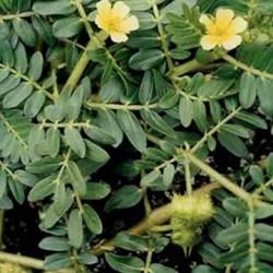 گیاه نخودوک در بیابان