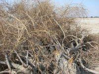 راز ماندگاری درختان در مناطق خشک