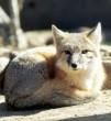 روباه تیز پا