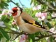 آشنایی با پرنده آواز خوان سهره