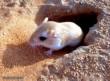موش صحرایی