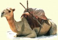 حیوانات کویر-شتر