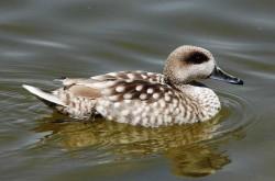 مشاهده گونه نادر اردک مرمری درزیست بوم تهران